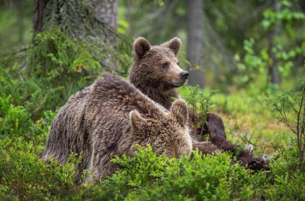 She-Bear and cub in the summer pine forest. stock photo