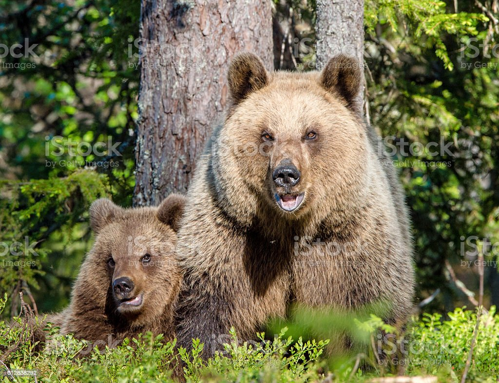 She-Bear and Cub of Brown bear stock photo