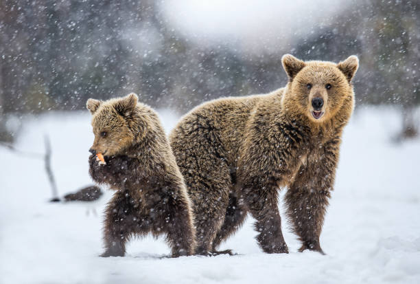 She-Bear and Cub on the snow. stock photo