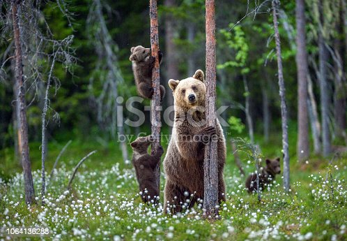 istock She-bear and cubs. 1064136288