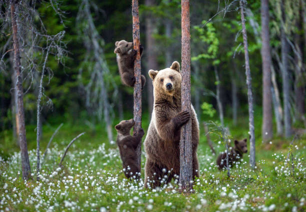 She-bear and cubs. stock photo