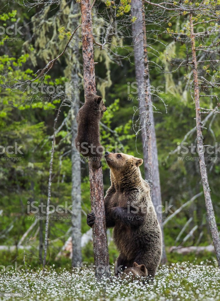 She-bear is standing near a tree, and her cubs are on a tree. stock photo