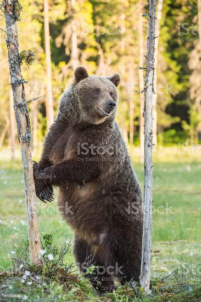 She-bear standing on his hind legs - foto de acervo