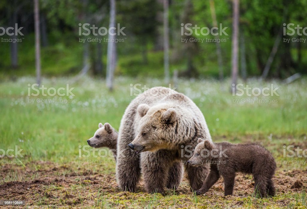 She-bear with cubs in the forest. stock photo