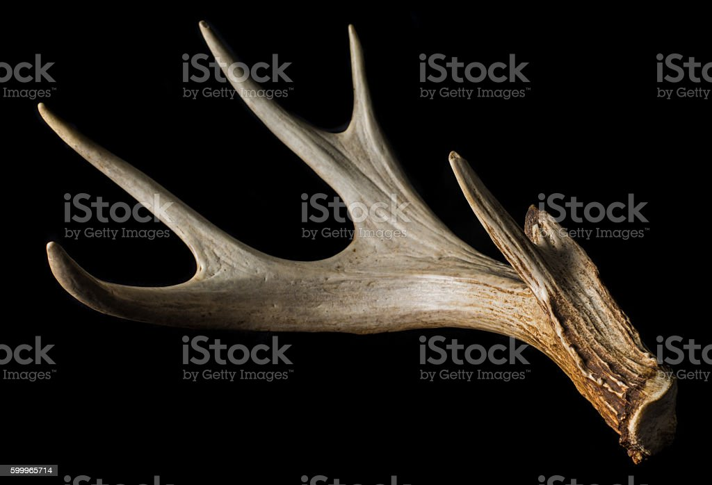 Shed antler from Whitetail Deer Isolated on Black Close Up stock photo