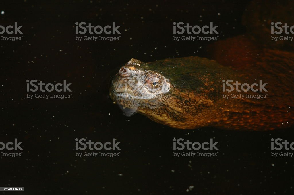 Sheen of water on snapping turtle stock photo