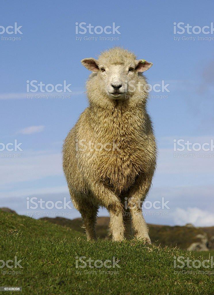 Sheep 3221 stock photo