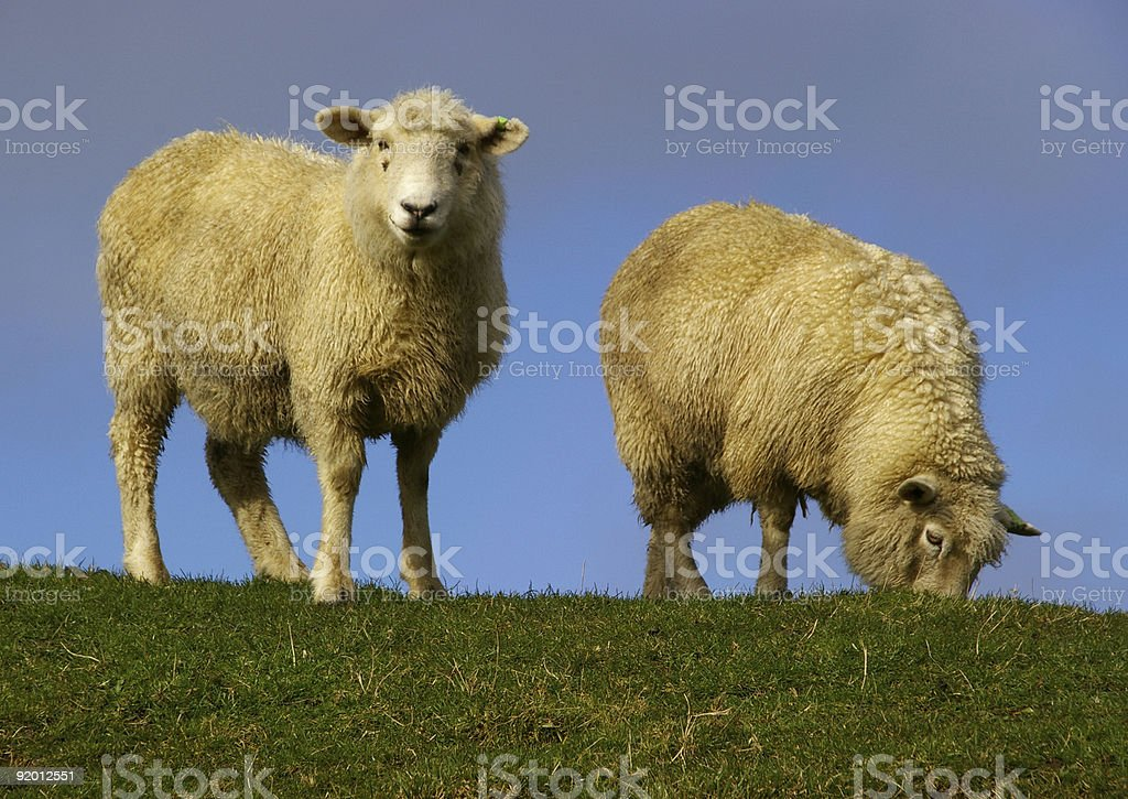 sheep 3278 royalty-free stock photo