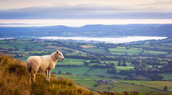 Lone sheep high above misty countryside in Monmouthshire, UK