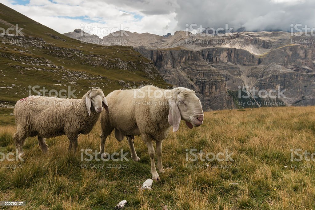 sheep above Val Gardena in Dolomites stock photo