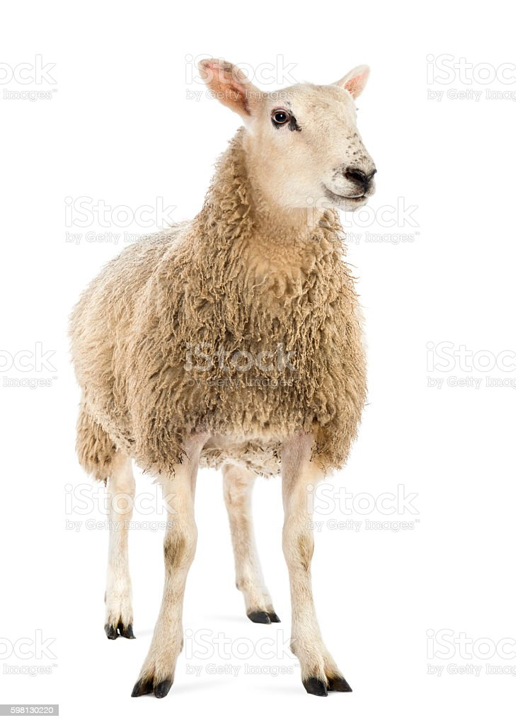 Sheep against white background stock photo