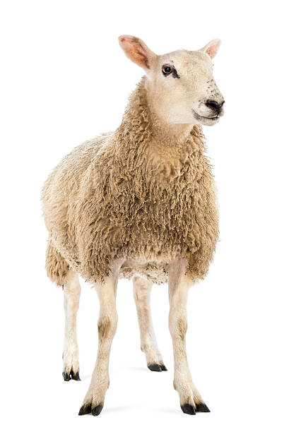 Sheep against white background - foto stock