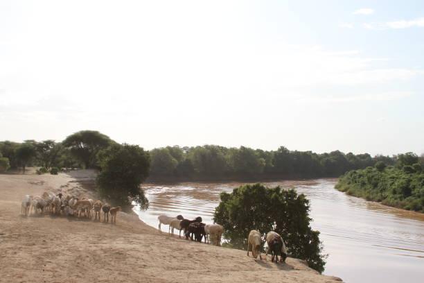 Sheep along the Omo River stock photo