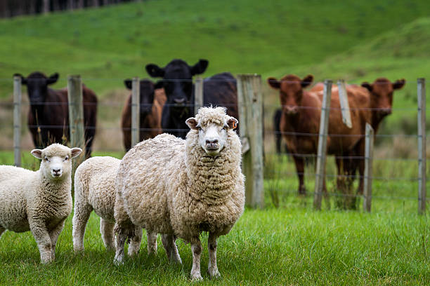 Royalty Free Farm Animals Pictures, Images and Stock ...