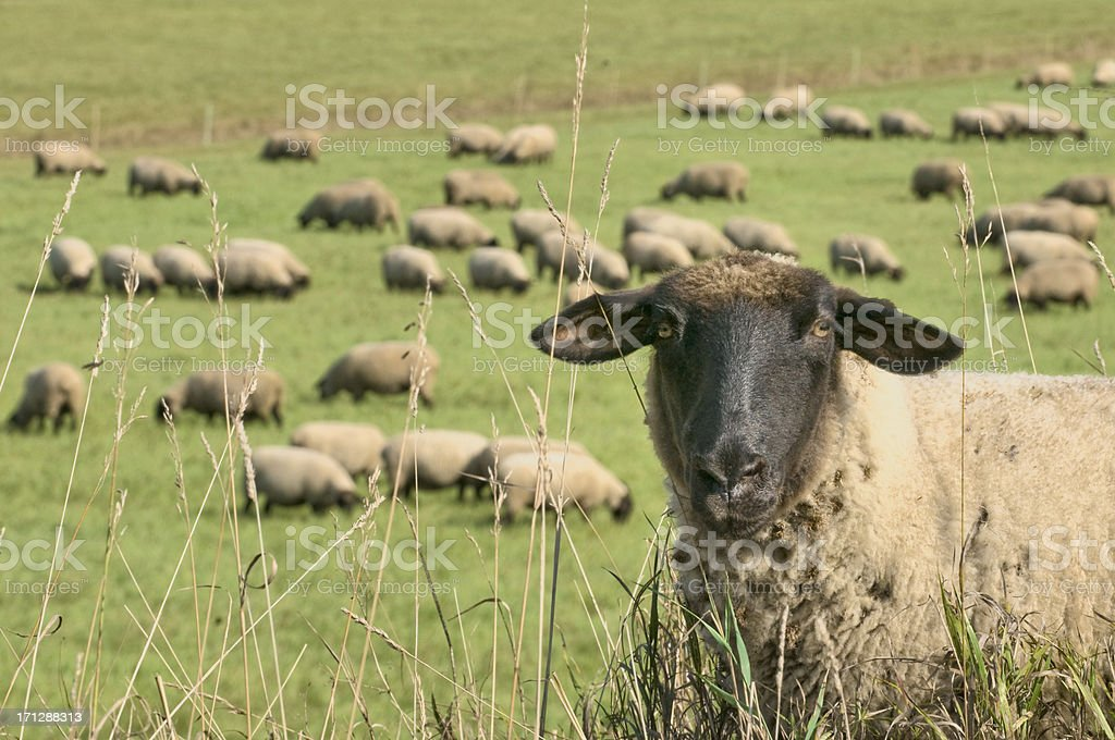 Sheep and flock (Suffolk) stock photo
