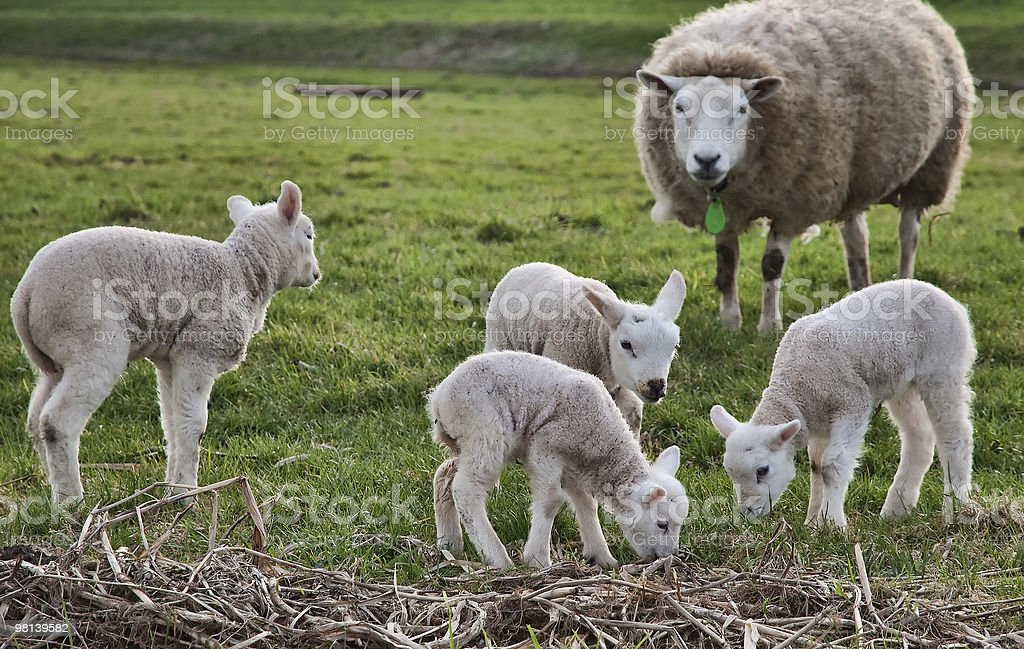 Sheep and four lambs royalty-free stock photo
