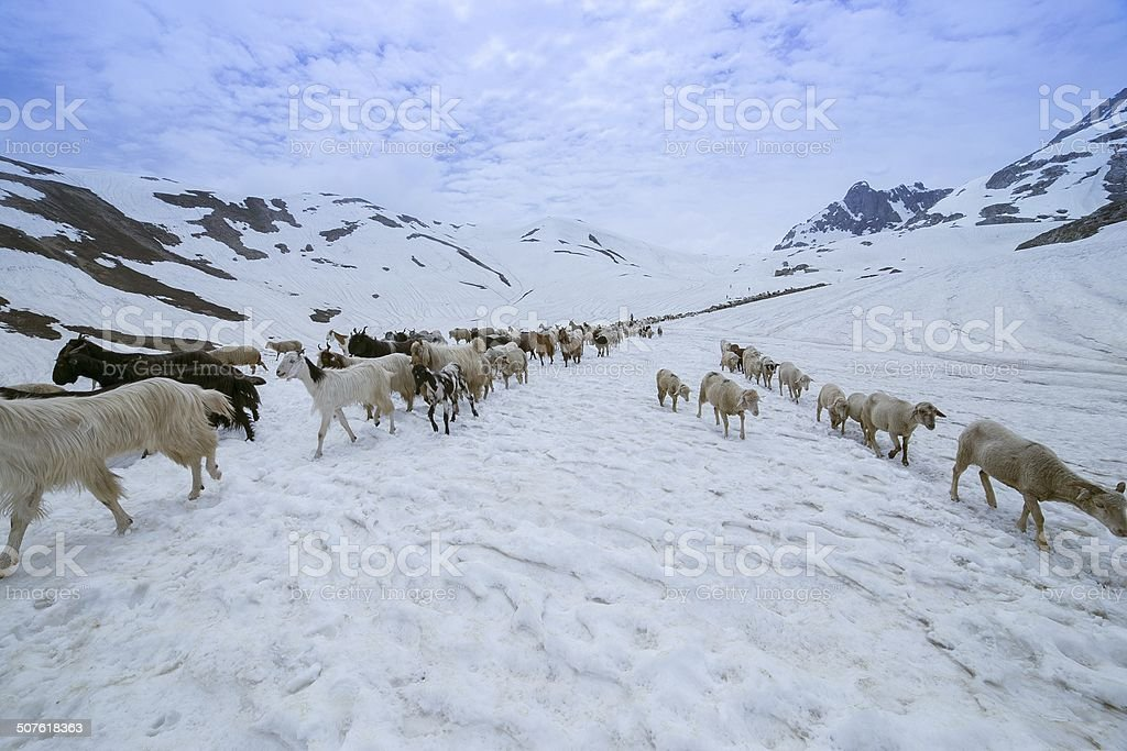 Sheep and Goat on snow stock photo