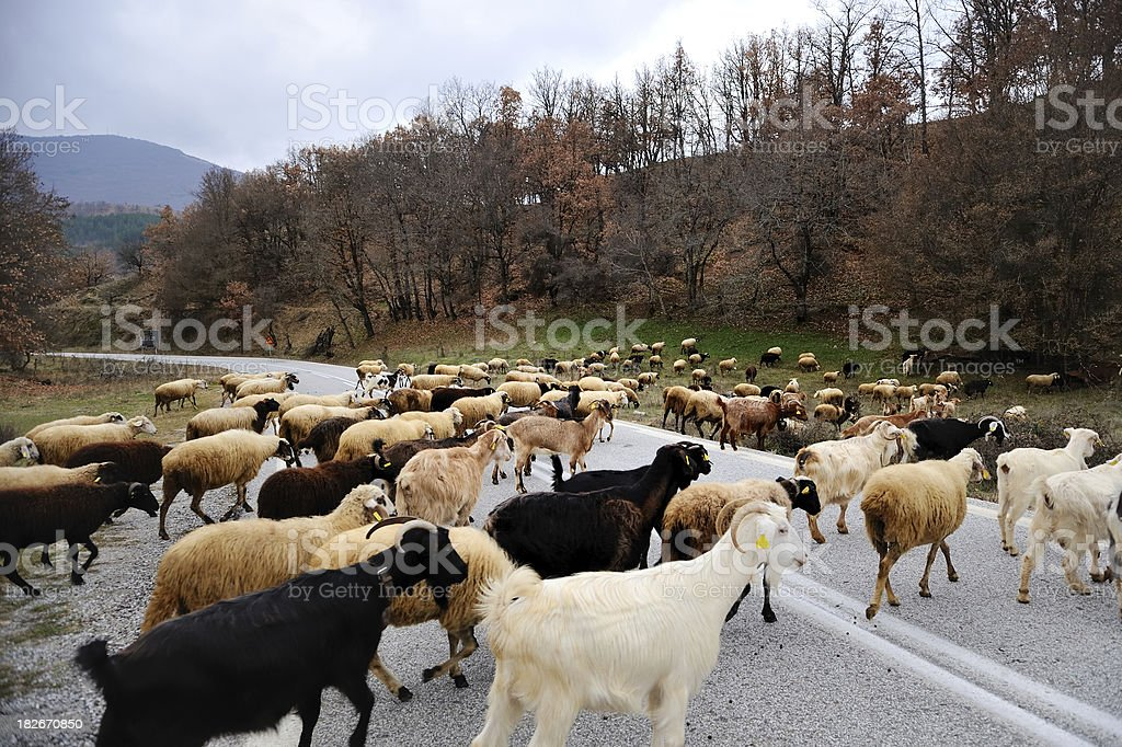 Sheep and Goats crossing road stock photo