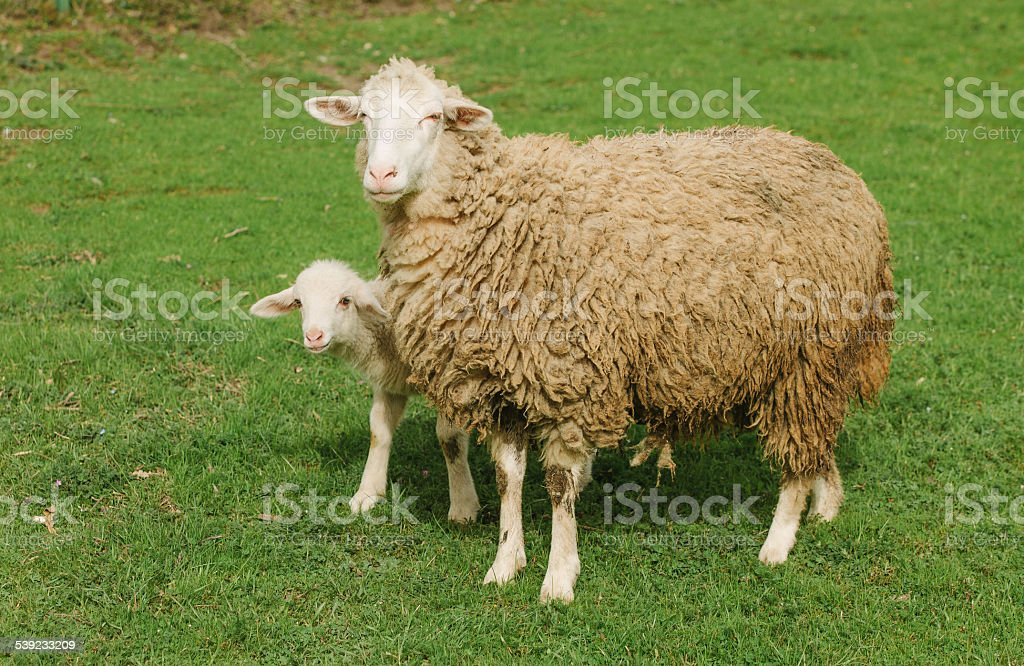 Sheep and her lamb royalty-free stock photo