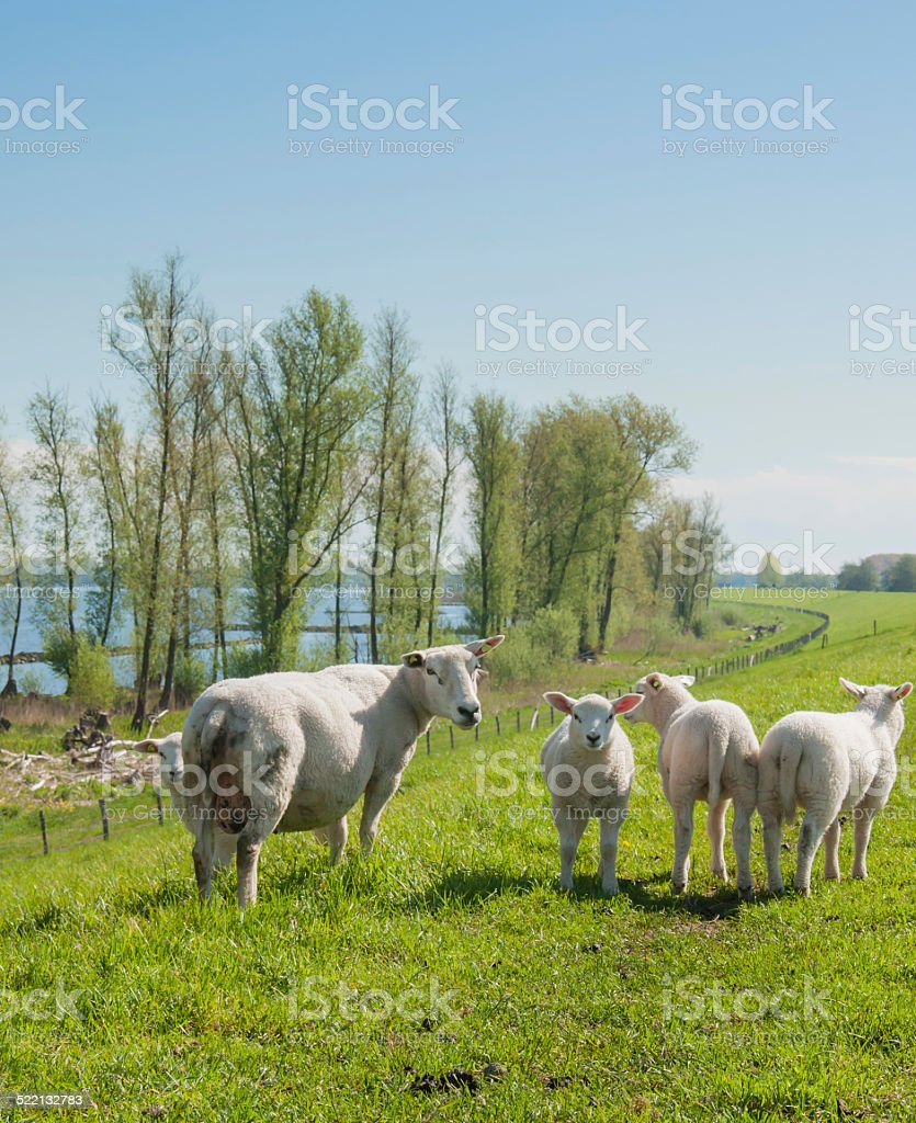 Sheep and her lambs on a Dutch dike stock photo