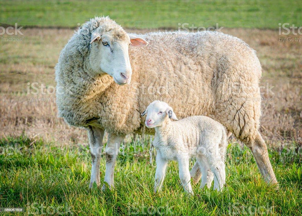 sheep and lamb 2 - Photo