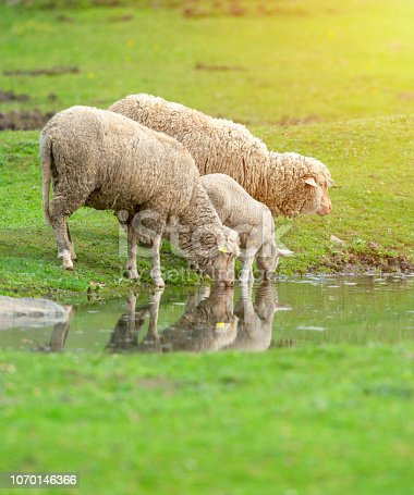 Sheep and lamb drinking water from a little pond