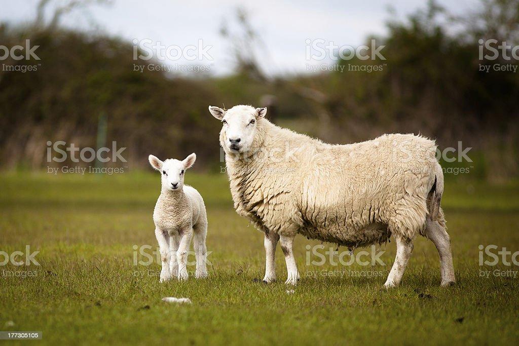Sheep and Lamb stock photo
