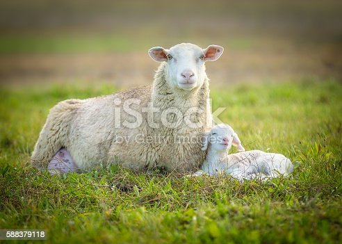 sheep and its lamb lying in green grass