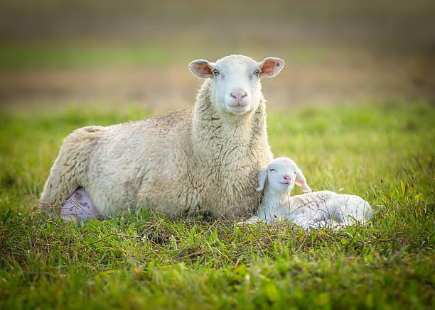 Moutons et d'agneau - Photo