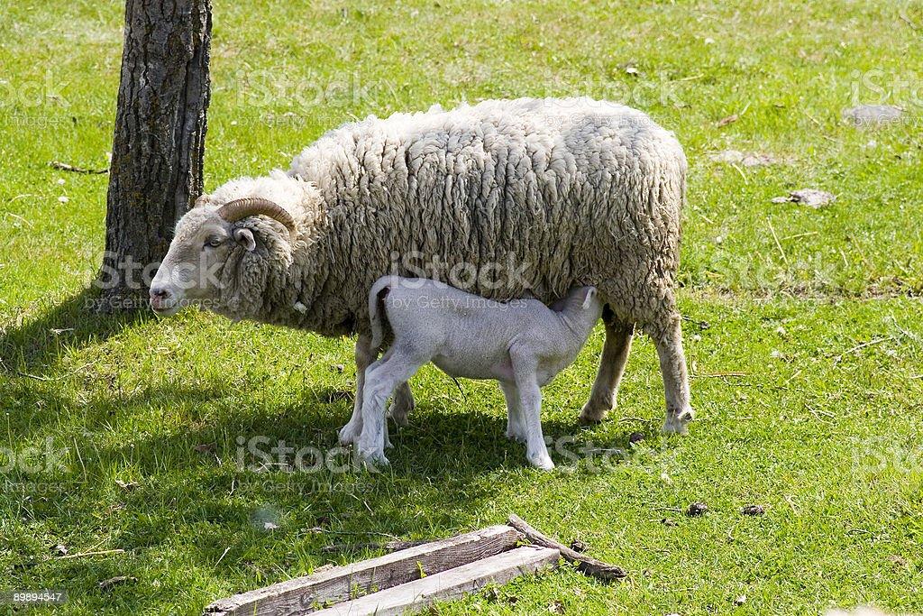 Овца и Ягненок Стоковые фото Стоковая фотография