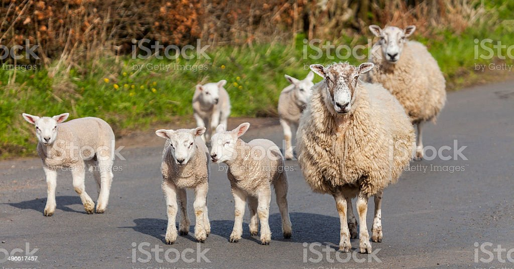 Sheep and lambs blocking a country road royalty-free stock photo