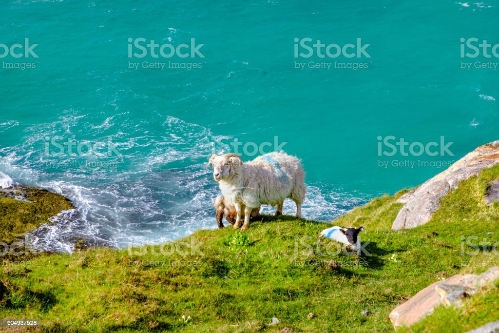 Sheep and lambs facing the sea on the isle of Harris, the southern part of Lewis and Harris, Outer Hebrides, Scotland stock photo