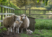 sheep and lambs in a compound in a farmyard in spring