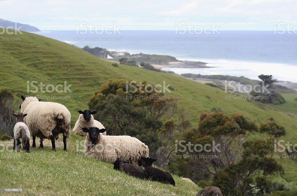 Sheep and Lambs in seaside meadow stock photo