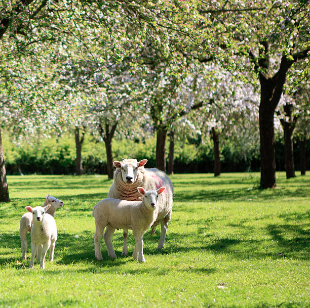 Sheep and lambs in the beautiful orchard Sheep and lambs in the beautiful orchard, Somerset, UK somerset england stock pictures, royalty-free photos & images