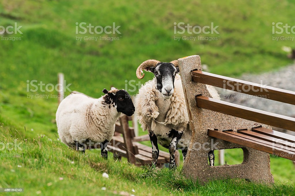 Sheep and lambs in the grasslands, Scotland stock photo