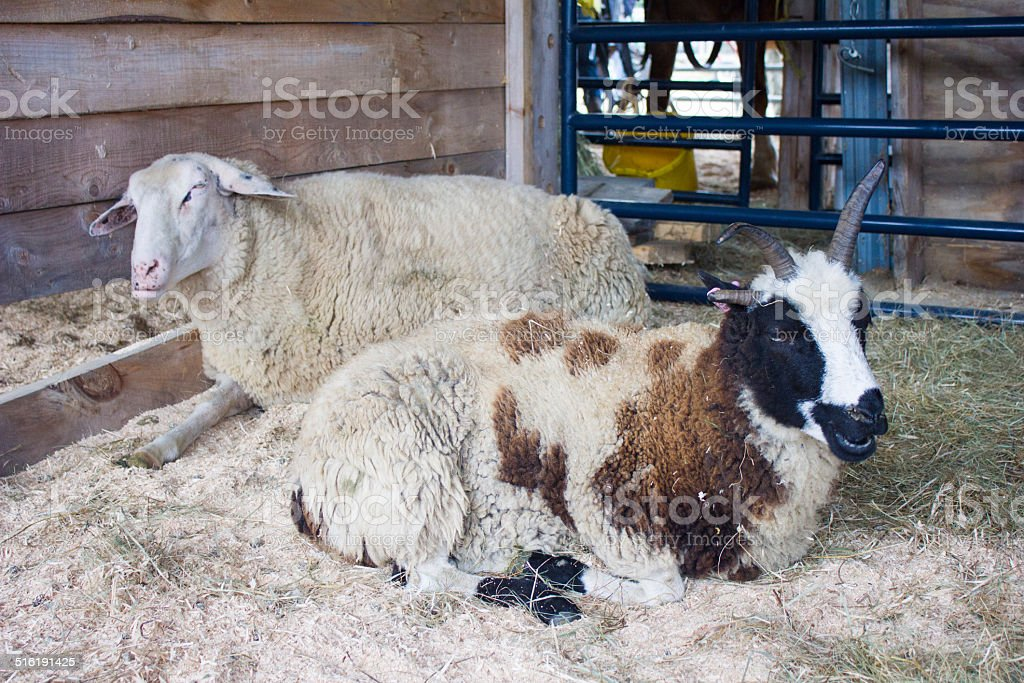 Sheep and Ram Sitting Down - Royalty-free Beige Stock Photo