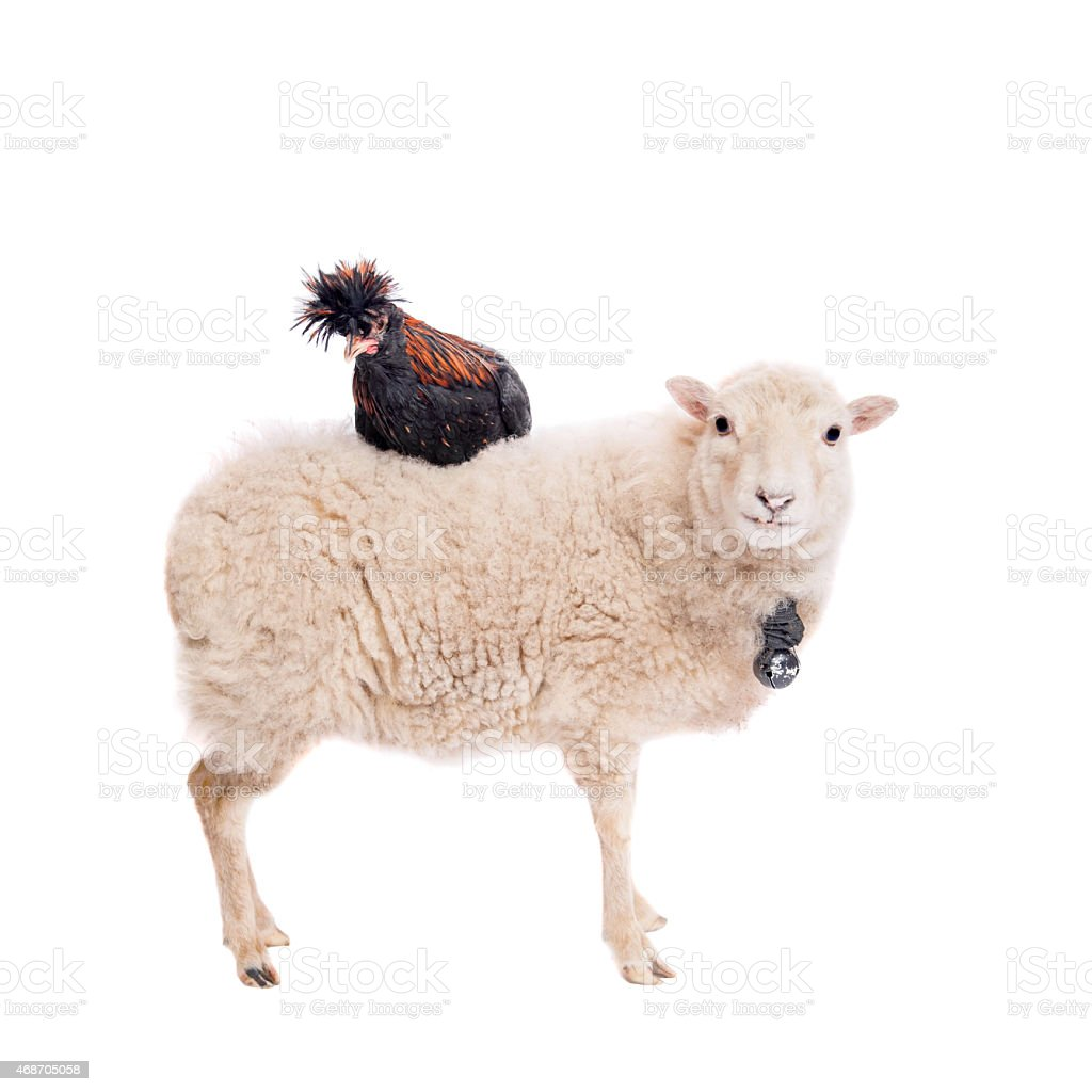 Sheep and rooster on white stock photo