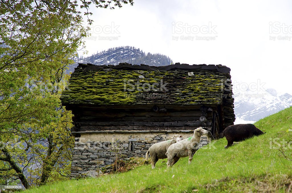 Sheep and rustic hut royalty-free stock photo