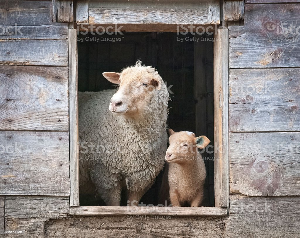 Sheep and Small Ewe, in Wooden Barn Window stock photo