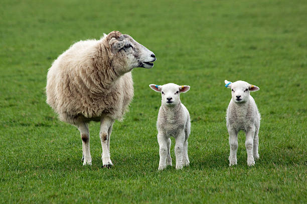 Sheep and Two Lambs stock photo