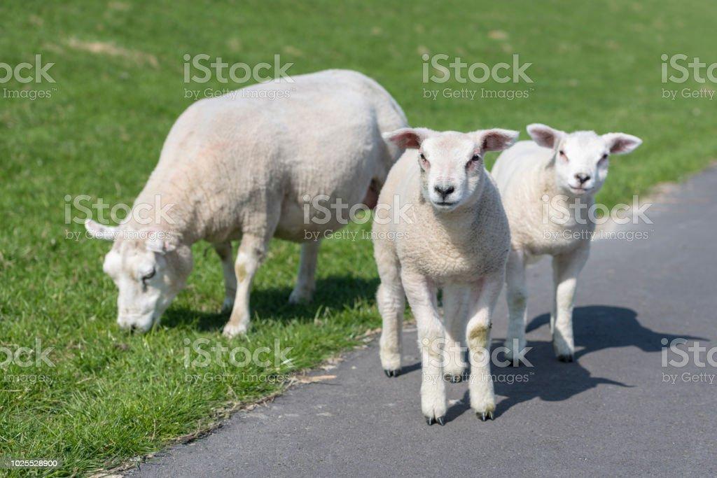 Schafe und zwei kleine Lämmer auf dem Deich Abhang der Insel Ameland – Foto