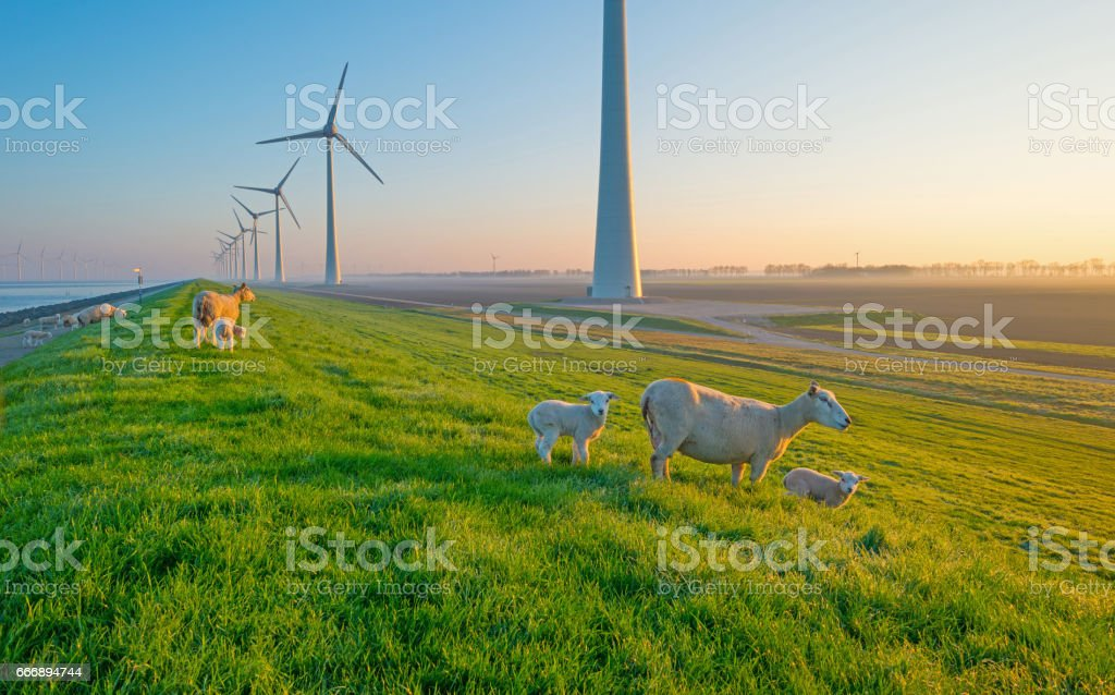 Sheep and wind turbines along a lake at sunrise stock photo