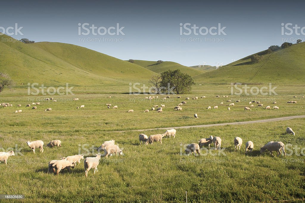 Sheep at pasture royalty-free stock photo