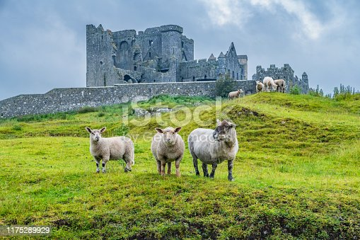 istock Sheep at Rock of Cashel Ireland 1175289929