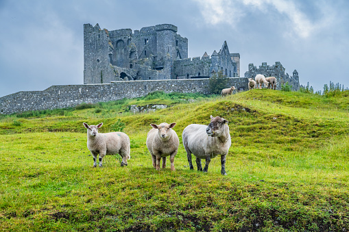 Stock photograph of sheep with the ruins of the Cathedral at the Rock of Cashel in the background, in Ireland, on a cloudy day.