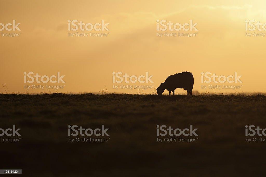 Sheep at Sunrise stock photo