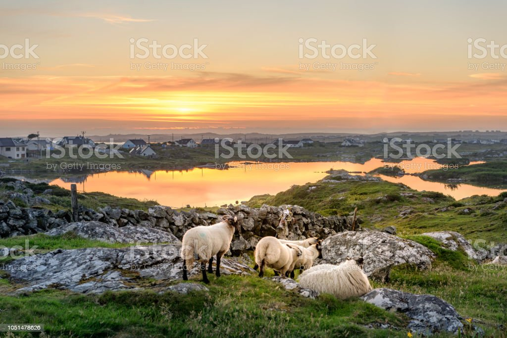 Sheep at sunset in Ireland stock photo