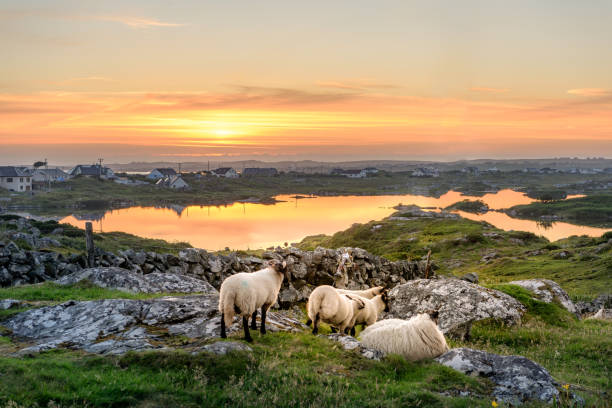 sheep at sunset in ireland - republic of ireland stock pictures, royalty-free photos & images