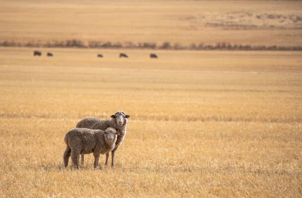 Sheep at Western Australia A flock of Merino sheep at a farm in Western Australia merino sheep stock pictures, royalty-free photos & images